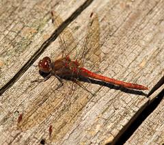 Blutrote Heidelibelle / Ruddy Darter (Sympetrum sanguineum) (uwe125) Tags: sonnenbad heidelibelle blutrote libellen insekten tiere insects macro dragonfly