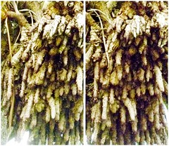Dracaena (San Francisco in stereo) Tags: sanfrancisco crossview 3d stereophotograph dragontree dracaena lafayettepark