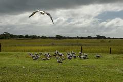 DSC_8505-4 (TDog54Photography / TCS Photography) Tags: birds north carolina coast nc east wings seagulls gulls seahore sea bird laridae sky clouds flying