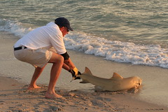 USA - Florida -Naples - shark put back to sea by a fisher (2) (mda'skaly) Tags: requin fish poisson shark sunset naples florida