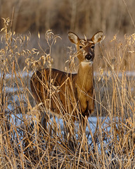 "Doe, ""Hiding"" In The Reeds (dcstep) Tags: dsc1299dxo deer doe whitetaildeer cattails reeds snow browneyes cherrycreekstatepark colorado usa aurora allrightsreserved copyright2019davidcstephens dxophotolab202 handheld sonya7riii fe100400mmf4556gmoss"