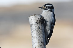 Downy Woodpecker (Steve Liffmann) Tags: downywoodpecker