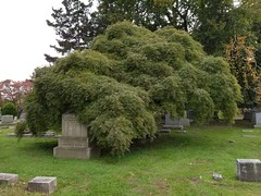 Woodland Cemetery (caboose_rodeo) Tags: 45 stamfordct tree