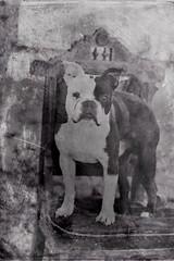 Boston Terrier (Dreaming Diva) Tags: boston terrier blackandwhite bw vintage chair puppy outside summer happy dog friend companion sweet
