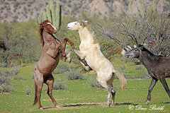 _V5A2238 (littlebiddle) Tags: arizona wildhorse saltriver nature wildlife