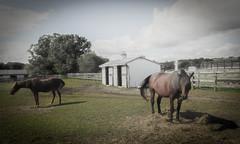 horses (bidutashjian) Tags: horse animals barn fence outdoors rural farm tree outside summer sky clouds grass bidutashjian nikon country horses