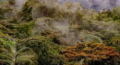 (brunomalfondet) Tags: malaisie forêtprimaire arbres brume cameronhighlands