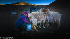Nomadic girl milking Pashmina Goat in  Ladakh, India (Vikas Panghal) Tags: nomads girl happy milking goats pashmina wool mountains amazing beautiful people culture lifestyle photography travel