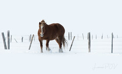 windblown (laura's POV) Tags: horse animal mammal winter snow cold seasons ranch farm fence pasture field landscape jacksonhole wyoming west western lauraspov lauraspointofview