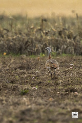 Great Bustard in the rain_w_3628 (Daly Wildlife) Tags: greatbustard otistarda heaviestflyingbird plains steppe agriculturalareas sedentary protected vulnerable spain austria germany hungary portugal slovakia