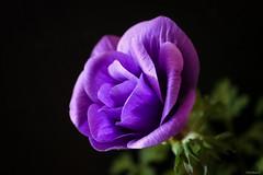 purple anemone (Christine_S.) Tags: macro canon eos m5 mirrorless nature blackbackground flower blossom violet ngc npc