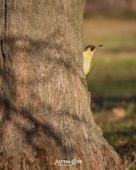 Green woodpecker basking in the sun on a tree trunk.• • • • • #birds #birdsofinstagram #bird #birdwatching #birdphotography #your_best_birds #birding #birdstagram #nuts_about_birds #wildlifephotography #kings_birds #bestbirdshots #wildlife #allmightybirds (justin.photo.coe) Tags: ifttt instagram green woodpecker basking sun tree trunk• • birds birdsofinstagram bird birdwatching birdphotography yourbestbirds birding birdstagram nutsaboutbirds wildlifephotography kingsbirds bestbirdshots wildlife allmightybirds featherperfection instabirds instabird birdlovers birdfreaks pocketbirds birdextreme greenwoodpecker justinphotocoe lumixg9