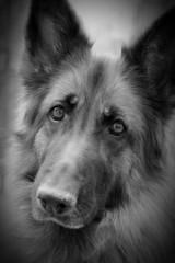 sadie, lovely lady (courtney065) Tags: nikond600 dogs herdingdogs shepherd germanshepherd pet canines caninecompanion animalportraits bw monochrome blackandwhite sadie dogportraits animal bestie