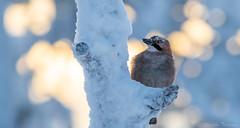 Närhi-9538 (Markku Teiramaa) Tags: euraasianjay finland garrulusglandarius kuusamo kuusamonaturephotography markkuteiramaa närhi oulanka suomi bestbirdshots bird kotkakoju luontoonfi nature naturephotography talvi totalbirds vogelfotografie vögel