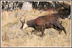 Chamois mâle rut 181115-01-P (paul.vetter) Tags: rupicaprarupicapra capriné chamois bovidé gamuza gemse mountaingoat mammifère