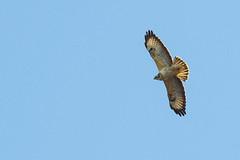 Juvenile Common Buzzard (DGooding89) Tags: common buzzard flight flying bird prey raptor young juvenile