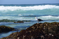 Bokeh bird (afagen) Tags: california pacificgrove montereypeninsula asilomar beach pacificocean ocean asilomarstatemarinereserve bird