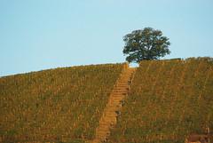 Neive collina 11 Langhe 18 (zanf89) Tags: neive alba langhe piemonte colline vino barolo nocciole
