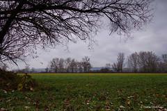 DSC01794 (Csaba Vásárhelyi) Tags: nature hungary sződ tree trees természet sky égbolt növény sony rx100mk2 rx100ii