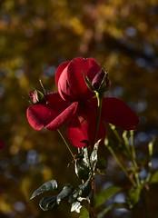 November-Rose; Bergenhusen, Stapelholm (3) (Chironius) Tags: stapelholm bergenhusen schleswigholstein deutschland germany allemagne alemania germania германия niemcy blüte blossom flower fleur flor fiore blüten цветок цветение rosa rosids fabids rosales rosenartige rosaceae rosengewächse rosoideae rose rosen roses roze gül роуз rot explored