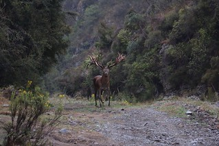 New Zealand Trophy Red Stag Hunting - Kaikoura 10