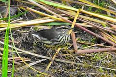 Ovenbird (Seiurus aurocapilla) (R-Gasman) Tags: travel bird ovenbird seiurusaurocapilla inglewoodbirdsanctuary calgary alberta canada
