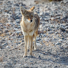 Coyote (Kirk Lougheed) Tags: badwaterroad california canislatrans deathvalley deathvalleynationalpark usa unitedstates animal coyote landscape nationalpark outdoor park