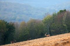 Cerf et biches... (fabrice.jandin) Tags: mammifères cervidés cerf biche ambiances automne forêt