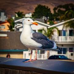 Pacific Gull at the Cayucos Pier (CDay DaytimeStudios w /1 Million views) Tags: beach ca california cayucos coastline gull highway1 ocean pacificcoast pacificcoasthighway pacificocean seagull water