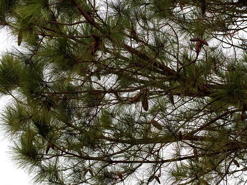 Pinus taeda by esrice, on Flickr