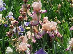 Irises 6 (D. S. Hałas) Tags: halas hałas canada ontario haltonregion wentworthcounty burlington aldershot royalbotanicalgardens botanicalgarden lakinggarden magnoliophyta liliopsida asparagales iridaceae iris flower