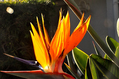 bird (greenelent) Tags: flower light orange ca california manhattanbeach photoaday 365