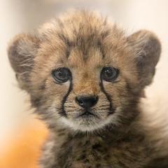Baby Face (Penny Hyde) Tags: babyanimal bigcat cat cheetah cheetahcub cub safaripark