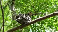 Wildlife (pieterwillemb) Tags: saturday grey south africa limpopo sunny panasonic lumix fz300 garden birding bird hiding leaves dove