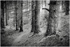 in the woods (geraldkoenigsohn) Tags: eifel germany contrast structure fujixt1 bw bnw blackandwhite landscape trees woods forest