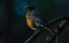 American Robin (Merle d'Amérique) (miro_mtl) Tags: americanrobin d7200 jardinbotanique merledamérique michelrochon montreal nikon nikond7200 outdoors rosemont tamron tamronsp150600mm america amerique animals bird blue botanicalgarden botanique canada chasse chasseur hunter hunting jardin marais marsh nature parc patience pond prey quebec waiting wildlife étang