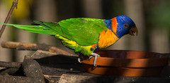 Rotnackenlori (KaAuenwasser83) Tags: rotnackenlori zoo karlsruhe vogel gehege federn holz bunt farben