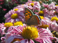 Lycaena phlaeas (Tanya Mass) Tags: autumn chrysanthemums lycaenaphlaeasmale lycaenaphlaeas commoncopper copper copperbutterfly autumnlight lowlight autumnbee petals macro flowers autumnflowers outdoor pinkflowers yellowstamens butterflyandbee pollinators explore78