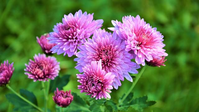 Обои Цветы, Осень, Хризантемы картинки на рабочий стол, раздел цветы - скачать