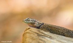 Morning siesta (Photosuze) Tags: lizards reptiles animals spinylizards yarrowsspinylizard nature wildlife rocks resting