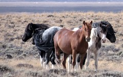 Some things aren't for sale (prairiegirrl) Tags: wildhorses mustangs bandofhorses publiclands family wildlife reddesert wyoming