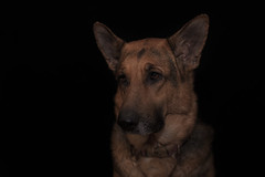 Liesl (Cruzin Canines Photography) Tags: animal animals canon canoneos5ds canon5ds canine 5ds eos5ds dog dogs domestic mammal pet pets gsd germanshepherd shepherd liesl pretty colorado coloradosprings lowkey studio indoors portrait