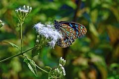Blue Angel !! (Lopamudra !) Tags: lopamudra lopamudrabarman lopa butterfly darkbluetiger bluetiger blue wild wilderness portrait beauty angel jayanti duars dooars westbengal india forest nature cute pretty beautiful