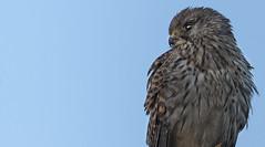 Sunset through the eye of a Kestrel (Ann and Chris) Tags: avian amazing awesome bird beautiful close eye falcon gorgeous impressive kestrel looking raptor stunning sunset sun unusual wildlife wild