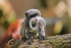 Lekker puh! (Karin Michies) Tags: keizertamarin apenheul aap monkey apeldoorn zoogdier mammal snor moustache dierentuin zoo tamarin dierenfotografie bokeh animalphotography tong