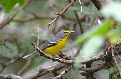 Adelaide's Warbler (Digital Plume Hunter) Tags:
