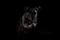 Jumping into 2019 (Christina Draper) Tags: staffie studio jump dog fine art staffi dogphotography dogportrait lighting 100xthe2019edition 100x2019 image1100