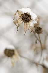 Winters victim (konradpoland) Tags: winter zima polska poland flower snow white nikon d7000 d7k sigma 105mm macro outdoor nature naturephotography polish withered
