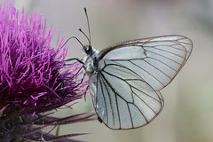 Gazé (Aporia crataegi) - Black-veined white (adrien2008) Tags: gazé aporia crataegi blackveined white lesbos