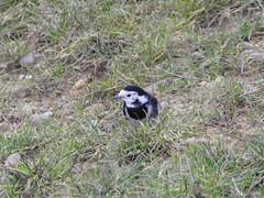 Pied Wagtail (Simply Sharon !) Tags: piedwagtail bird wildlife britishwildlife nature january